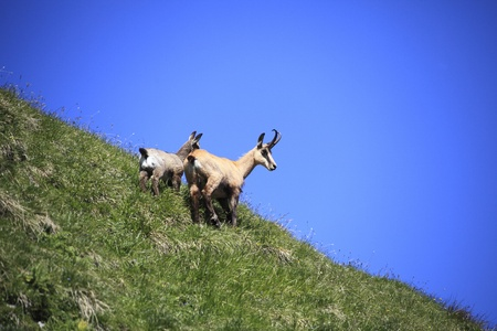 two chamois on hill mother and child