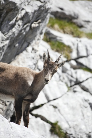 one young capricorn is standing on the rock Stock Photo - 9991121