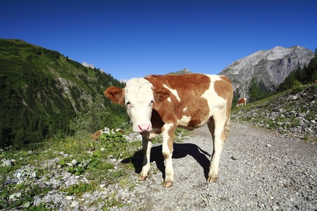 youg cow is standing on a way in the alps photo