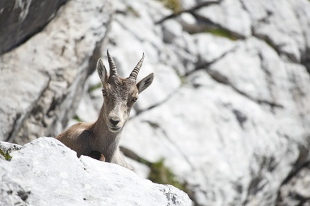 one young capricorn is sitting on the rock Stock Photo - 9991180