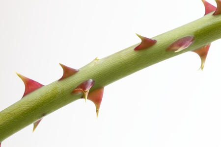 spiky: Close up of rose thorn over white background Stock Photo