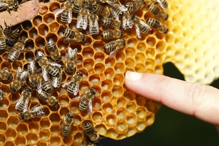 Close up view of the working bees on honeycells.Finger shows Stock Photo - 10190632