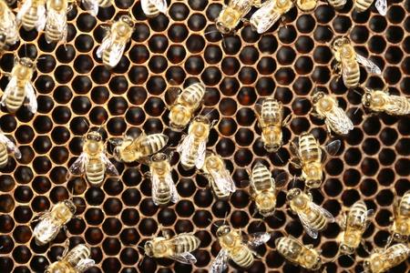 Macro of many working bee on honeycells. Stock Photo - 10233129