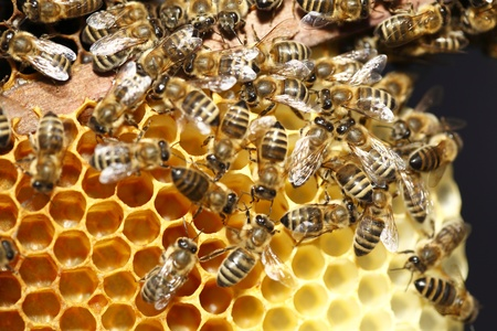 Macro van vele werkende bijen op honeycells.