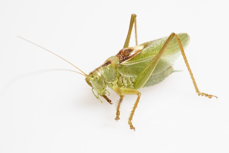 close up shot of a green grasshopper  photo