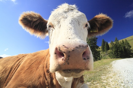 nose close up: brown cow resting on green grass near the way