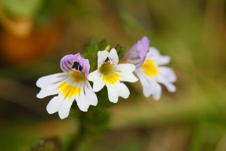 little eyebright flower from the european alps Standard-Bild