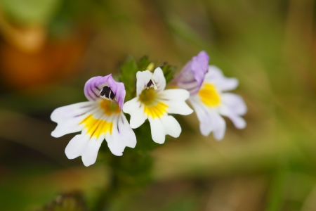 stellate: little eyebright flower from the european alps Stock Photo
