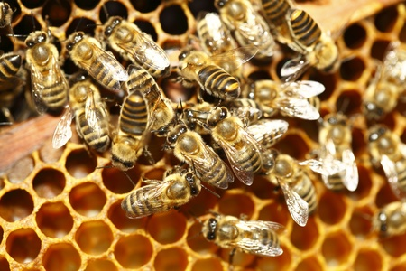 Close up view of the working bees on honeycells Stock Photo - 10683574