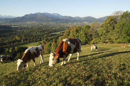 some cows on a field at the bavarian alps photo