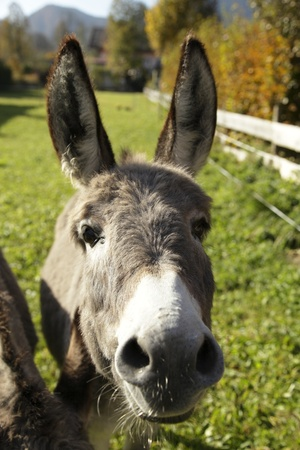 grey donkey with big ears  is looking photo