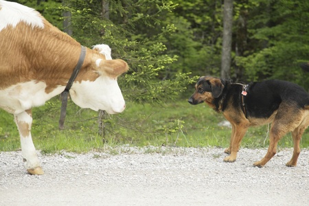 meeting between a dog and a cow