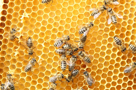 Close up view of the working bees on honeycells Stock Photo - 13310545