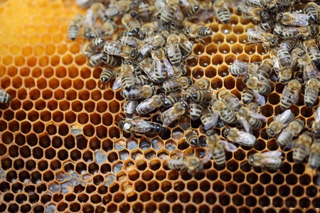 Bees inside a beehive with the queen bee in the middle photo