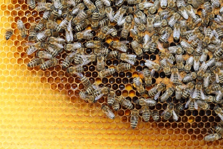 Bees inside a beehive with honey comb