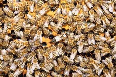 abeja reina: Las abejas dentro de una colmena con la reina de las abejas en el medio Foto de archivo