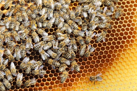Bees inside a beehive with many honey bees Stock Photo - 14099633