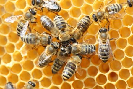 abeja reina: Las abejas dentro de una colmena con abejas algunos bailes Foto de archivo