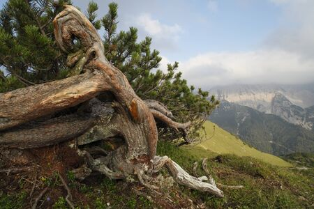 mugo: picture of a big mountain pine in the alps Stock Photo