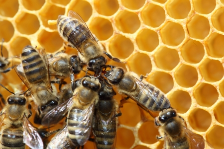 some honey beees are dancing on honey cells Stock Photo - 15439371