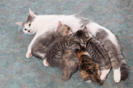nursing young: some little cats are drinking from mother