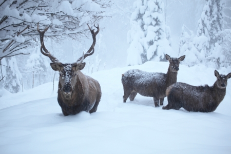 three deers with many snow in nature