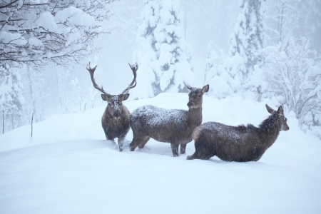 three red deers in nature with many snow photo