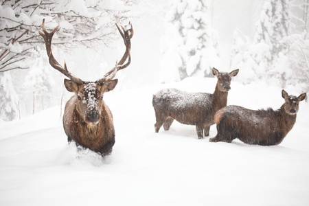 brooding: some red deers in winter with many snow
