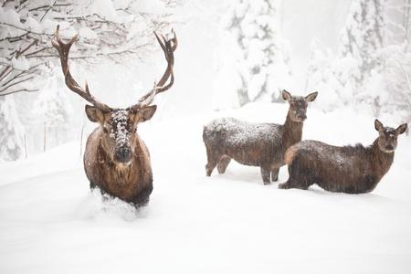 wat rode herten in de winter met veel sneeuw