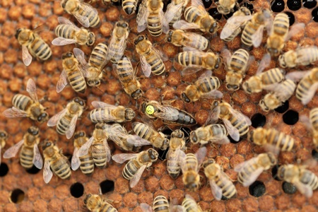 many honey bees with quenn in the middle Stock Photo - 19495441