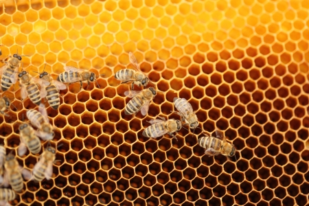 many  honey bees on yellow honey cells Stock Photo - 19495440