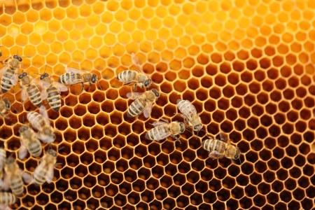 many  honey bees on yellow honey cells Stock Photo - 19495440