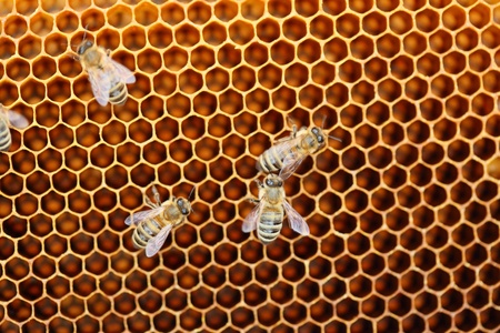 some honey bees on yellow honey cells Stock Photo - 19495443