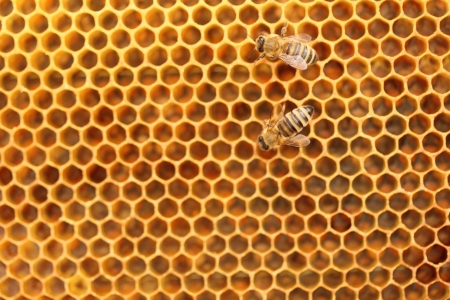 two honey bees on yellow honey cells