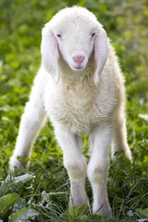 naivety: young newborn sheep on green field