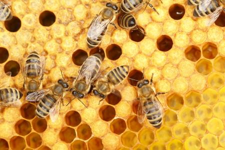 bee worker on a yellow honey cell Standard-Bild