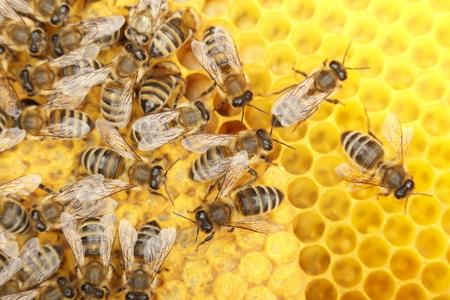 sommige dansen bijen op gele cellen, macro