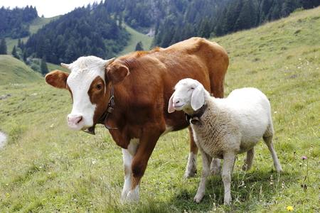 een koe en een schaap staan op een veld