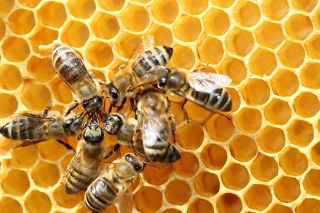 miel de abeja: algunas abejas est�n trabajando en equipo