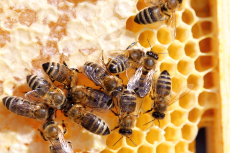 honey bees on a beeswax frame in bee hive