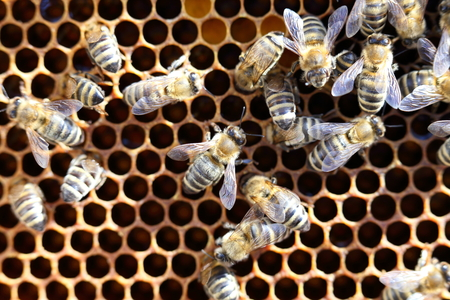 stock breeding: working bees on a frame with bees wax Stock Photo