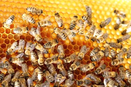 abejas: abejas están trabajando en una cera de abejas en una colmena de abejas