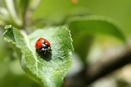 septempunctata: a lady bug is sitting on a green leave