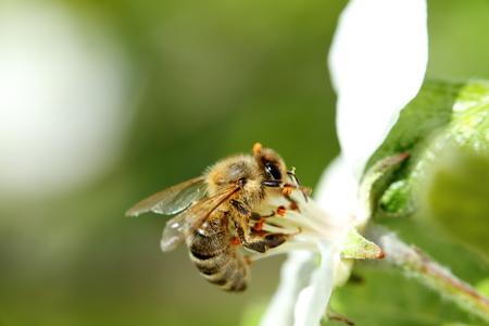 frhling: detail shot of a honey bee on blossom