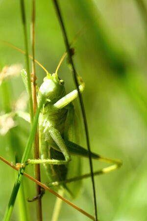 chorthippus: green grasshopper is sitting on blades of grass Stock Photo