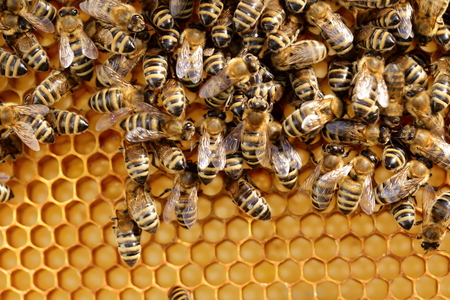 honey cell: many bees on a honey cell in a bee hive
