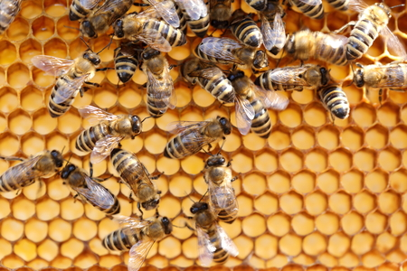 honey cell: some bees on a honey cell in a bee hive Stock Photo