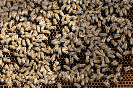 teamworking: teamworking honey bees on a bees wax Stock Photo