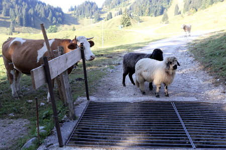 crowd tail: some farm animals are standing in front of a cattle grid