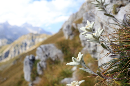 some edelweiss flowers in the austrian alps